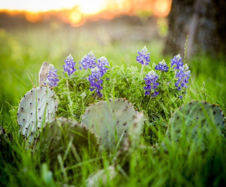 cropped-bluebonnets-and-cactus-1-3.jpg